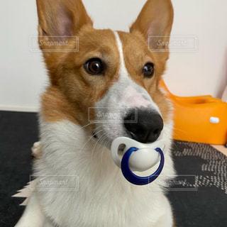 おしゃぶり犬の写真・画像素材[3248465]