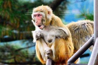 ビックリした猿の写真・画像素材[2995848]
