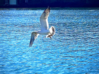 水域の上を飛ぶウミネコの写真・画像素材[2996975]