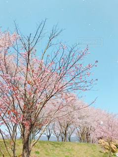 桜2019の写真・画像素材[3001025]