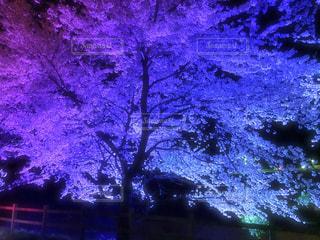 夜桜の写真・画像素材[3004683]