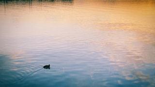 夕暮れの水鳥の写真・画像素材[3072589]