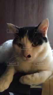 猫の写真・画像素材[130174]
