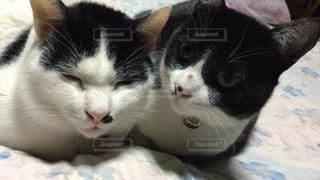 猫の写真・画像素材[130177]