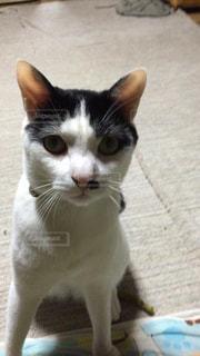 猫の写真・画像素材[130503]
