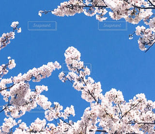 いつかの空と桜の写真・画像素材[2996158]