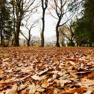 枯れ葉のじゅうたんの写真・画像素材[3010615]