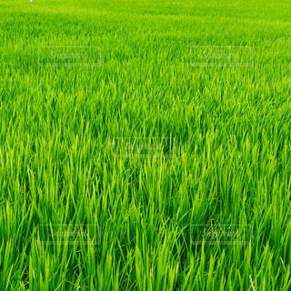 緑豊かな田んぼのクローズアップの写真・画像素材[3032377]