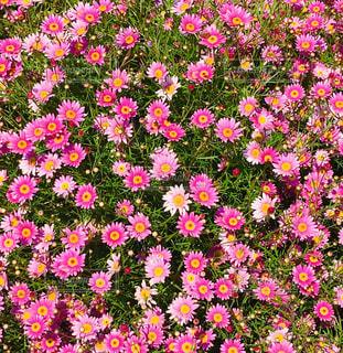 緑の葉のピンクの花の写真・画像素材[3149551]