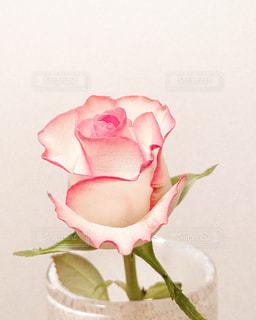 ピンクの薔薇の写真・画像素材[3304733]