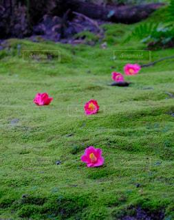 散り椿の写真・画像素材[3009353]