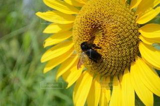 ひまわりとタイワンタケクマバチの写真・画像素材[3001302]