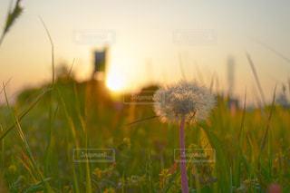 夕陽と綿毛の写真・画像素材[3214317]