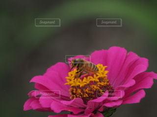 ミツバチのホバリングの写真・画像素材[3380266]