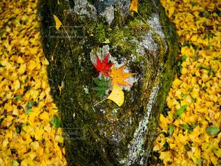黄い絨毯と四種の秋の写真・画像素材[3858570]