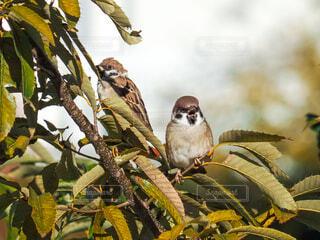 木の枝に止まっている2羽のスズメの写真・画像素材[3874771]