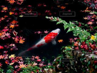 錦鯉と水面に浮く紅葉の写真・画像素材[3900753]