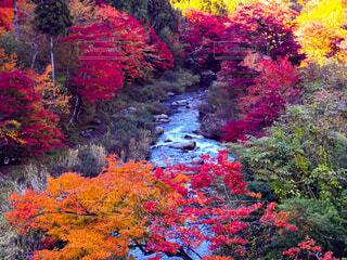 大井平公園の紅葉の写真・画像素材[3905874]