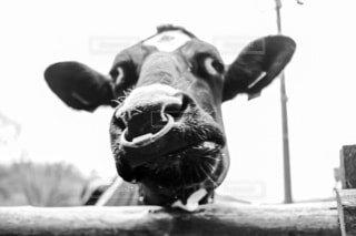 変顔の牛さんの写真・画像素材[3997781]