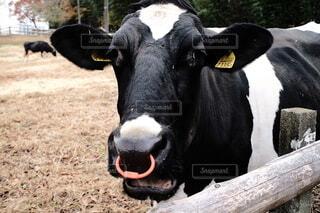 牛のクローズアップの写真・画像素材[3997786]
