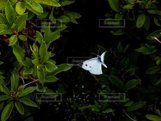 飛翔するモンシロチョウの写真・画像素材[4548842]