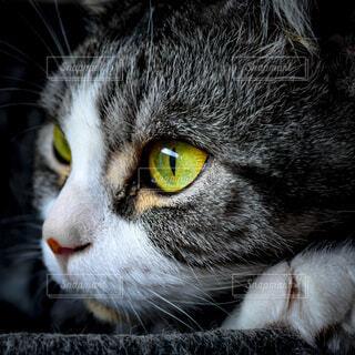 猫のクローズアップの写真・画像素材[4565139]