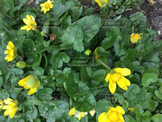 立金花の写真・画像素材[3012365]