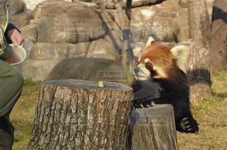レッサーパンダの写真・画像素材[3013700]
