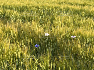 畑の写真・画像素材[3007524]