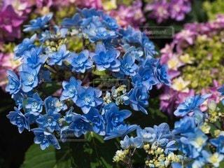 青いアジサイの写真・画像素材[3097582]