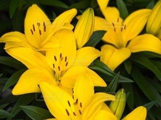 黄色いユリの写真・画像素材[3565671]