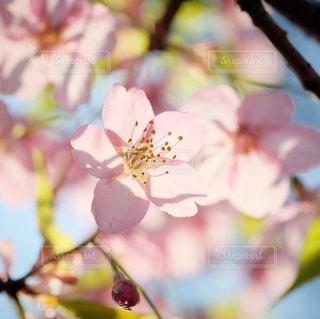 桜の季節の写真・画像素材[3019275]