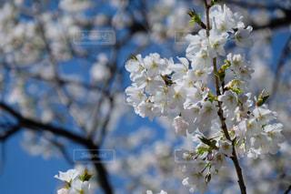 お花見。桜の季節。の写真・画像素材[3036841]
