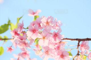 満開の桜。お花見の季節。の写真・画像素材[3041619]