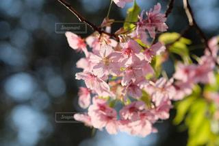 満開の桜。お花見の季節。の写真・画像素材[3041618]