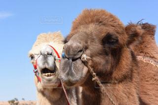 モンゴル高原のラクダ。の写真・画像素材[3044888]