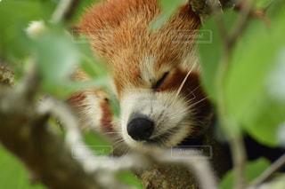 居眠りレッサーパンダの写真・画像素材[3056185]