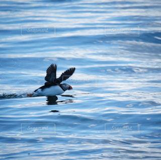 飛び立つパフィン。アイスランドの海の写真・画像素材[3057354]