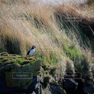 岩の上でたたずむパフィン。アイスランドの写真・画像素材[3057358]