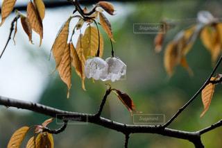 山の花シリーズ。雨の山の桜の写真・画像素材[3065075]