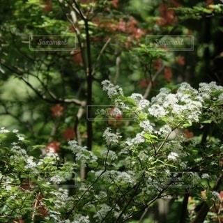 花咲く山。の写真・画像素材[3284721]