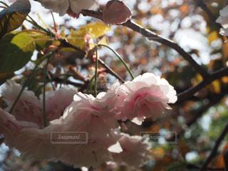 桜の写真・画像素材[3010035]