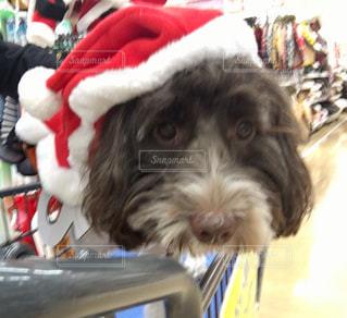 サンタ帽子を試着の写真・画像素材[3010189]