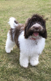 フリスビーで遊ぶ茶色と白の犬の写真・画像素材[3010215]