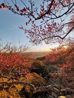 筑波山の梅の写真・画像素材[3013236]