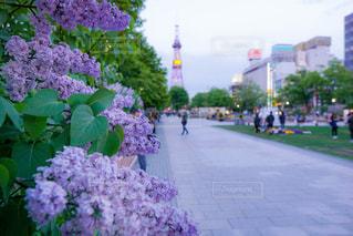 大通公園のライラックの写真・画像素材[3029591]