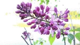 紫色の花のグループの写真・画像素材[3141719]