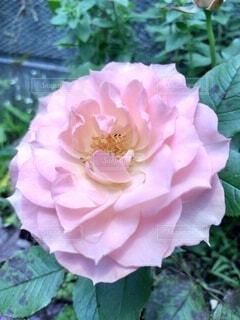 ピンクの薔薇の写真・画像素材[4543268]