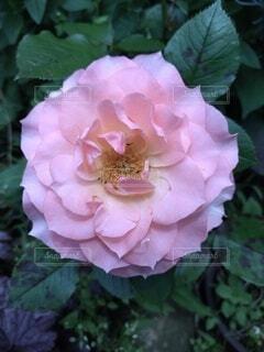 バラのクローズアップの写真・画像素材[4543267]