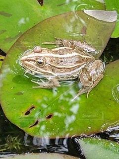 葉の上に緑のカエルの写真・画像素材[4543266]
